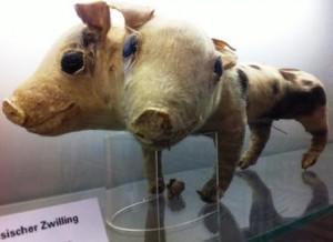 Pig siamese twins
