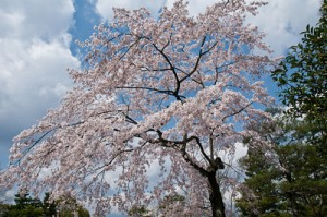 South Korea cherry blossoms cheered me up a bit